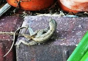 lizard sex 2